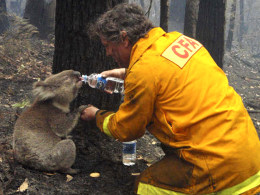 Image: David Tree shares his water with an injured Koala