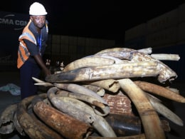 Image: A Kenya Ports Authority worker inspects a section of elephant tusks recovered from a container on transit, in Mombasa