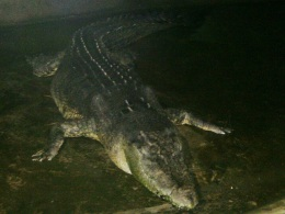 Image: Largest crocodile in captivity dies in Philippines