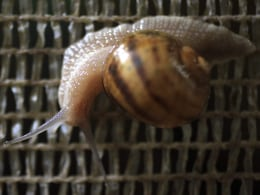 Image: A snail (Helix Aspersa) climbs over panels in a farm near Choachi