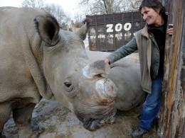 Image: Rhino expert Berry White pets a northern white rhino