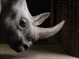 Image: Northern white rhino