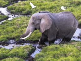 Image: An elephant walks in the marsh