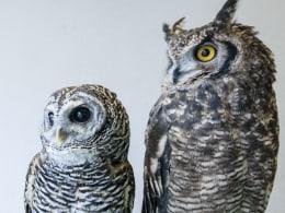 Image: Owls at a Tokyo cafe