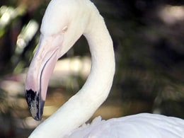 Image: OLDEST FLAMINGO DEATH ADELAIDE ZOO