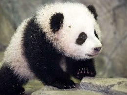 Image: US-CHINA-PANDA-BAO BAO