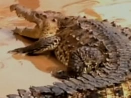 Residents of Acapulco came across a crocodile roaming the streets Wednesday after days of major flooding.