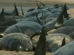 Whales stranded at Farewell Spit, New Zealand.