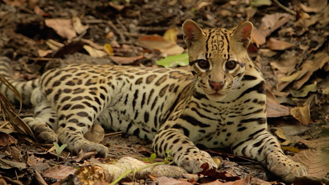 """All wild animals in Costa Rica are endangered.""""   MSNBC"""