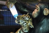 Chimp bottle feeds tiger cub