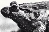 Frog, thought extinct, has been stayin' alive