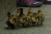 Secret Service scoopers boost lucky ducklings