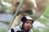 Lion swipes at child