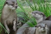 Otter thy father and thy mother