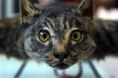 Pet cat turned into remote-control helicopter
