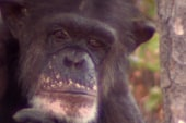 Opposable thumbs up for lab chimp sanctuary