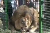 Lion makes a break for it