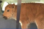 Baby bison euthanized after tourists' mistake