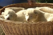 Rare white lion cubs debut at German zoo