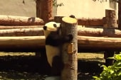 Pandas explore their new home in China