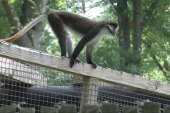 Monkey on the loose at Mass. zoo