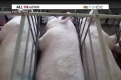 The pigs may tell the tale for Chris Christie