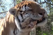 One man fights to stop 'backyard tiger'...