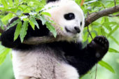 Panda at National Zoo weaned from mother