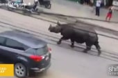 How to catch a rhino on the loose