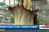 Rare 'Corpse Flower' in bloom in Colorado