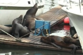 Sea lions are dying in California