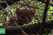 The plight of the American marten