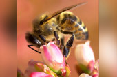 Disappearance of bees could impact our...
