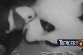 Panda cam returns!