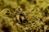 Colorado's burgeoning drug economy