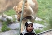 Lion tries to feast on toddler at Oregon Zoo