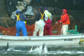Hundreds of dolphins hunted in Japan