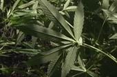Two states want to reclassify marijuana