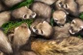 De Blasio weighs in on NYC ferret ban