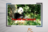Click 3: We learn who baby panda's father is