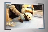 The cutest panda video you've ever seen