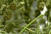 Will black leaders join in marijuana reform?