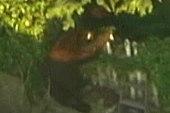 Bear roams backyards of LA suburb