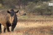 Rhino protectors take on 'hardcore thug'...