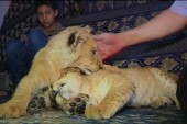 Gaza family adopts lion cubs to keep as pets