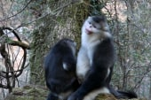 Filmmakers document endangered monkey
