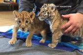 Lion, tiger cubs being raised together in NJ