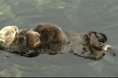 Baby otter surprises guests at CA aquarium
