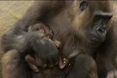 Baby gorilla debuts in Sydney