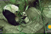 Baby panda Bei Bei takes first wobbly steps
